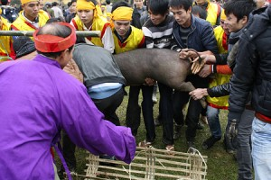 Pig hunting festival in Phu Tho Province